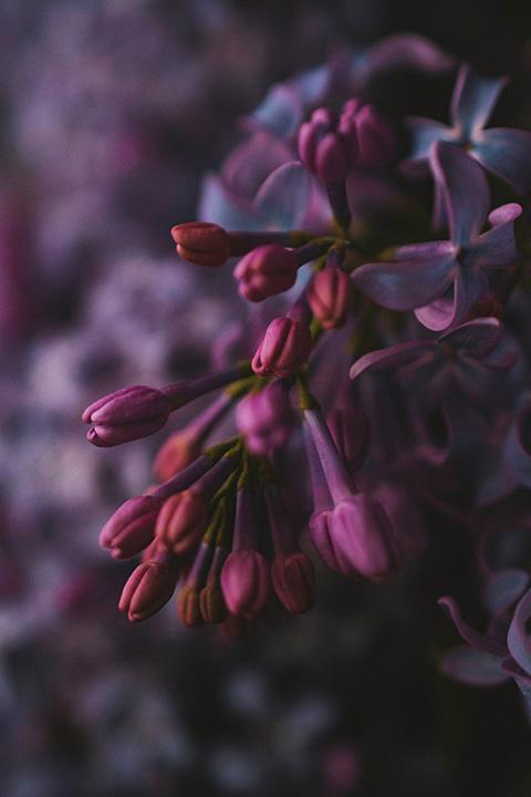 Close-up shot of lilac buds