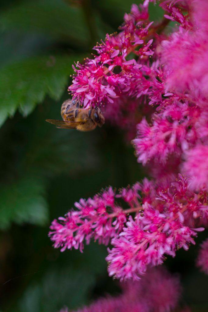 Bee hanging off pink flower