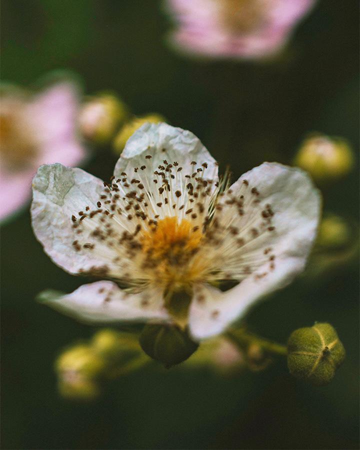 Blackberry flower close-up