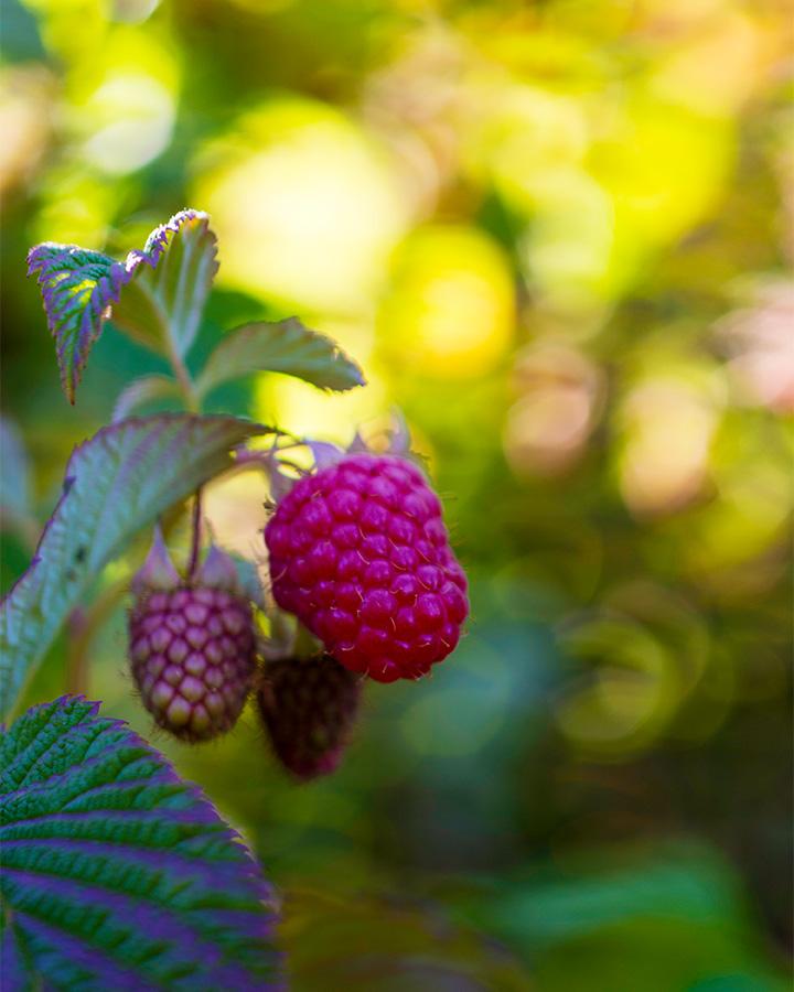Raspberries ripening on a bush