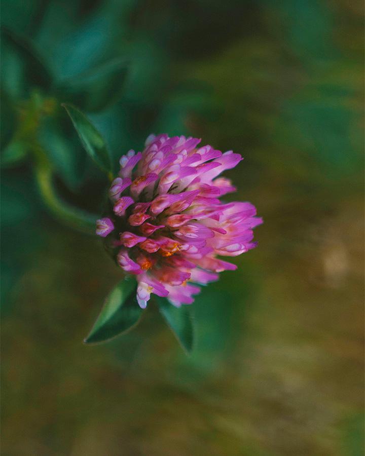 Wild red clover flower