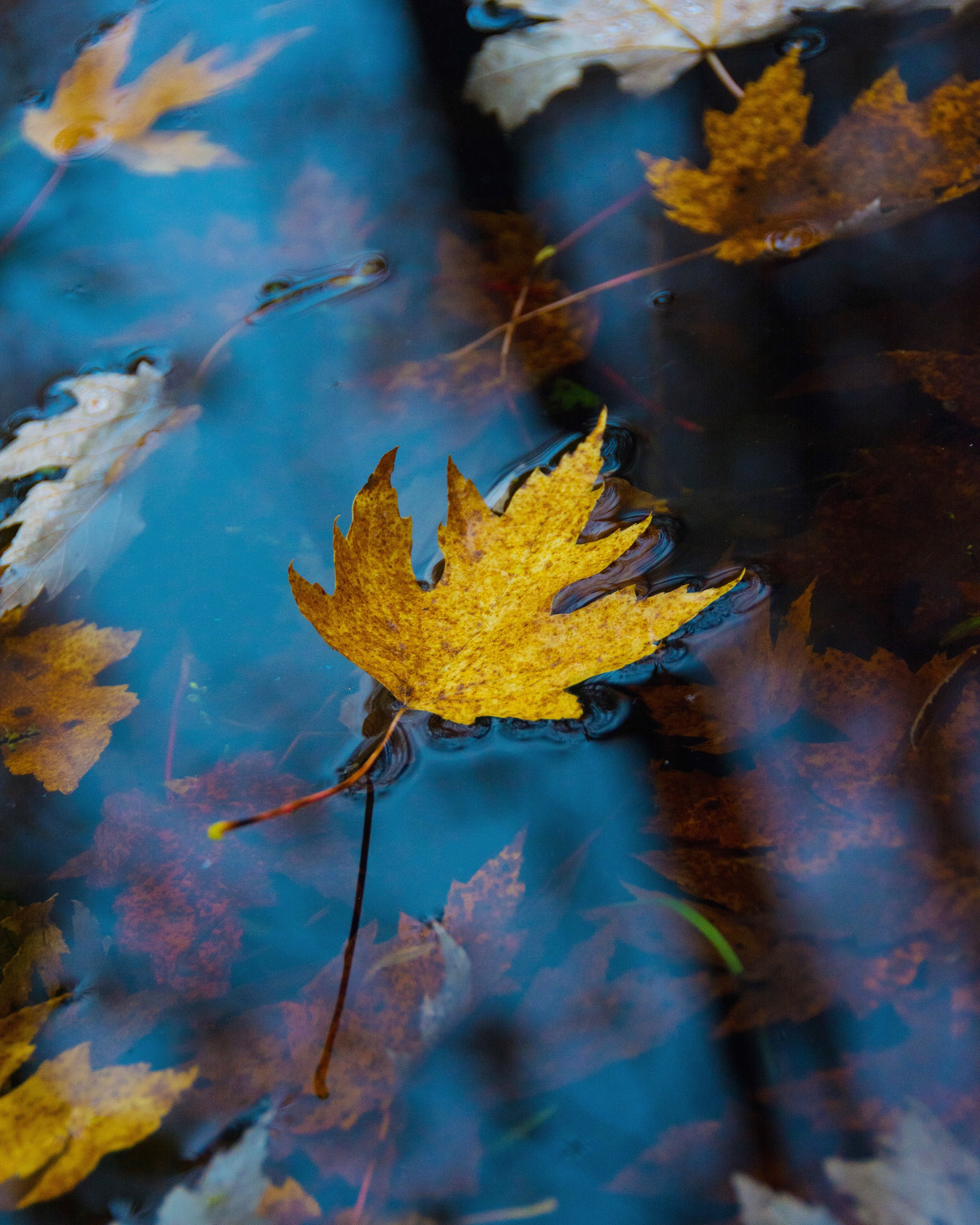 Bright yellow maple leaf floating on blue water