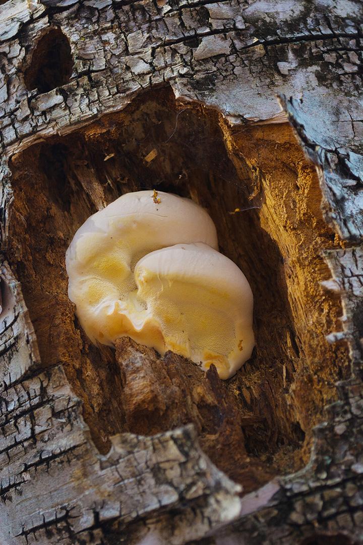 Mushroom living on deadwood