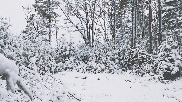 A spruce forest covered with snow