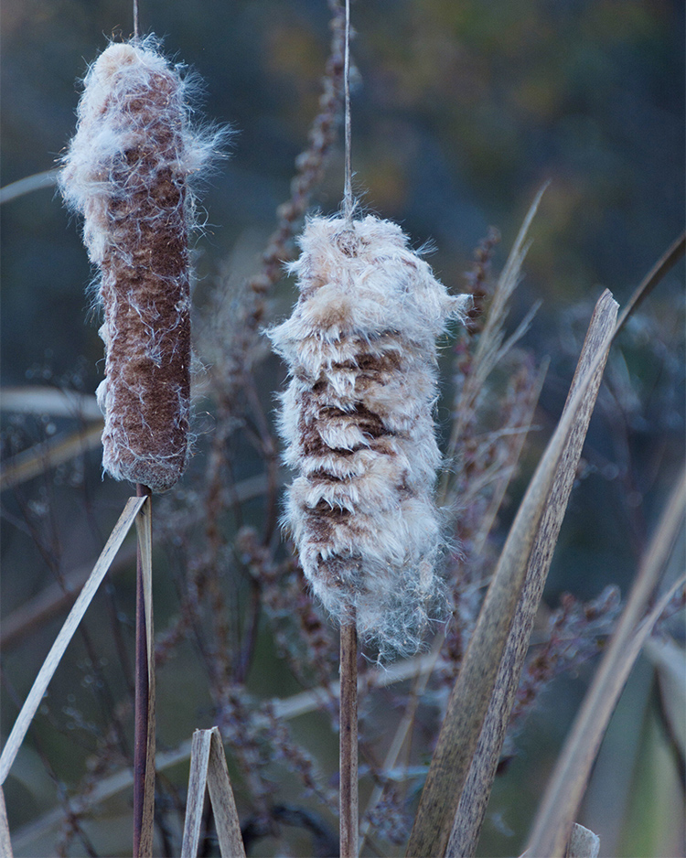 Two cattail plants stand tall. Their flowers have begun to seed making them fluffy.