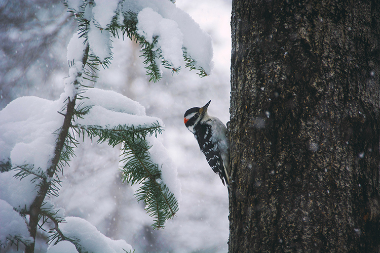 A hairy woodpecker stands upright on a tree trunk. In the background is a snowy forest landscape.