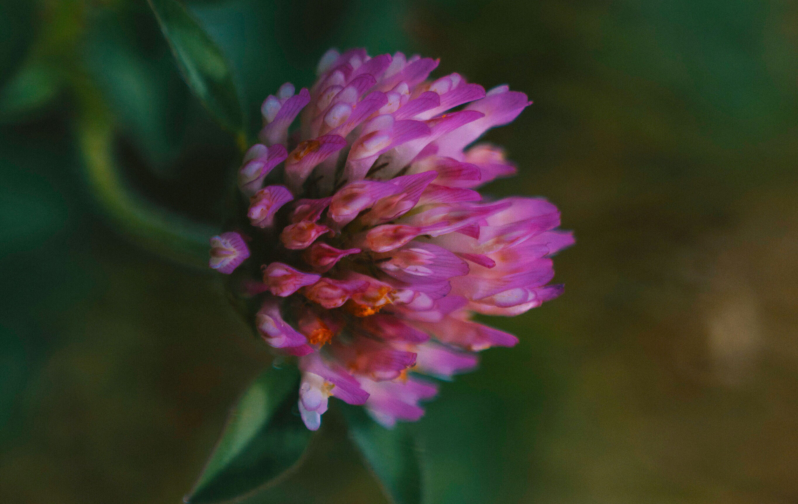 A wild red clover plant growing in a lawn.