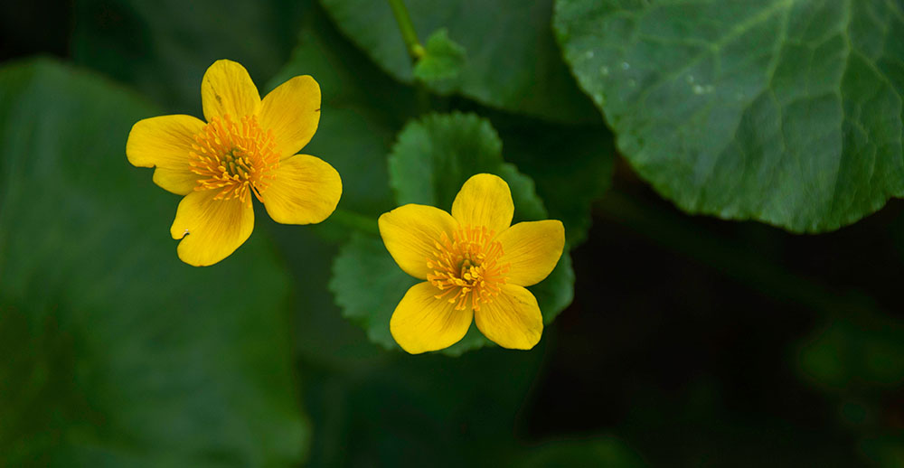 Two yellow marsh marigolds on Wolf Trail