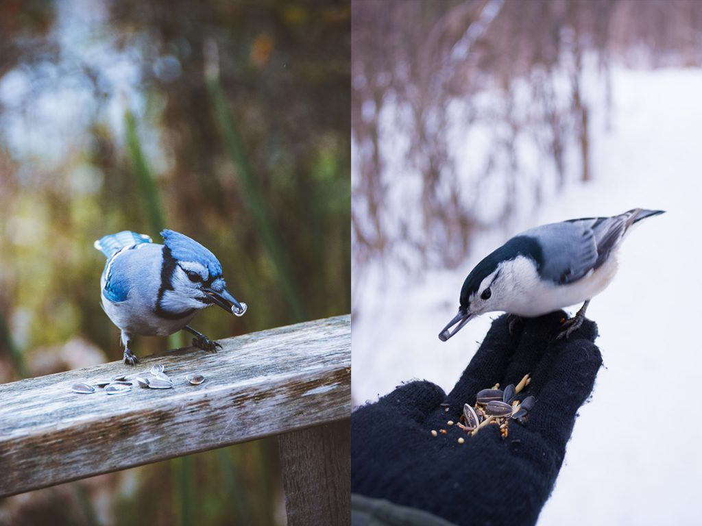 A bluejay and nuthatch eat sunflower seeds
