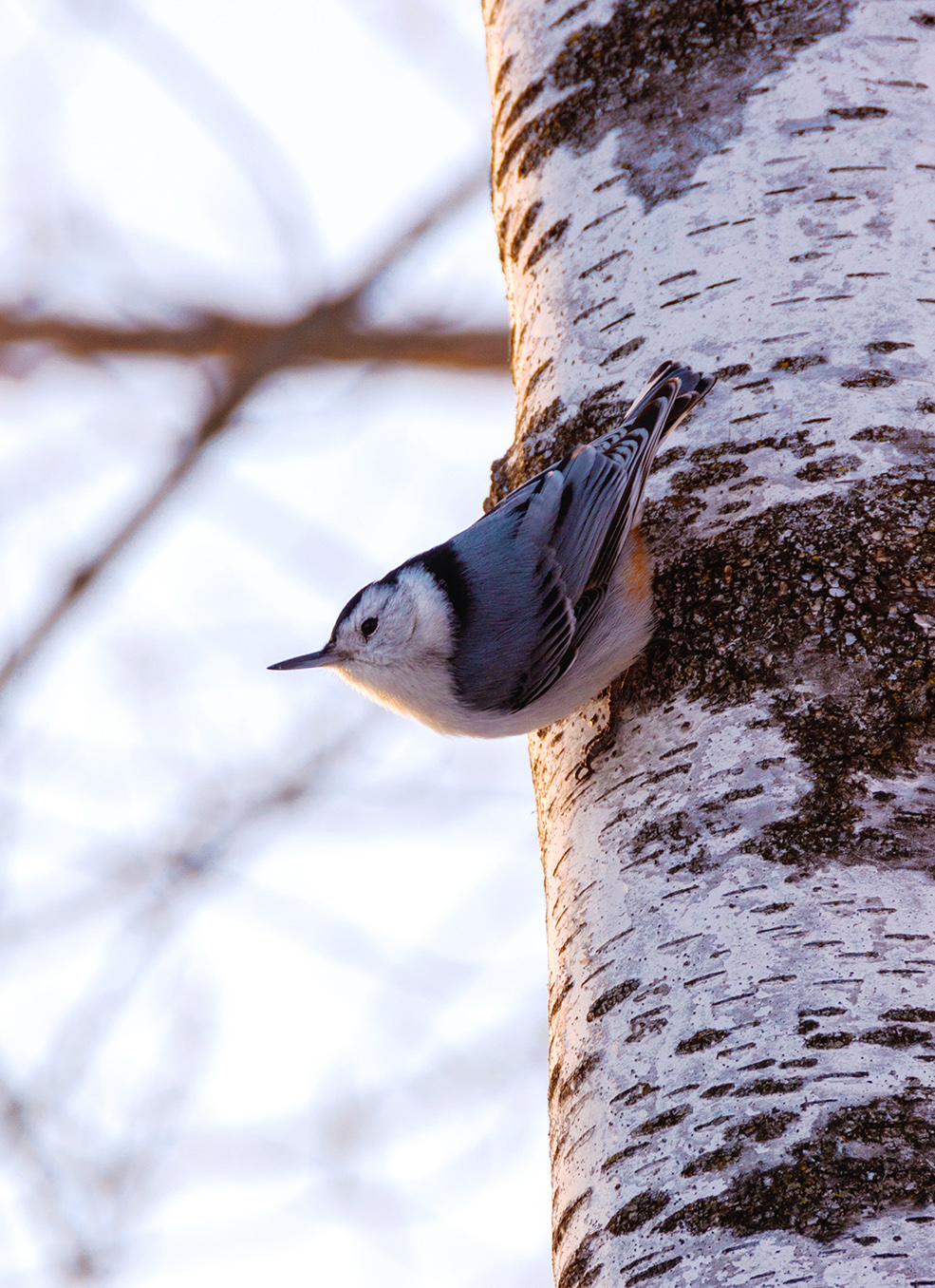"A nuthatch ""walks"" down a tree."