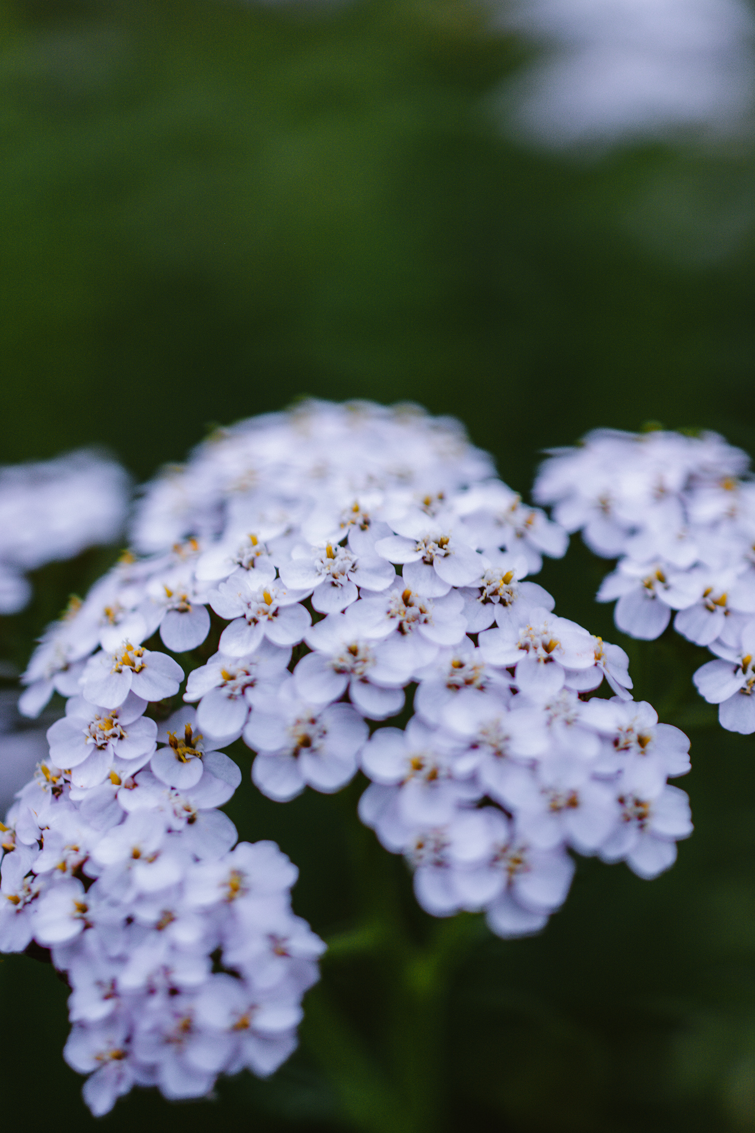 Yarrow is a common spring plant with medicinal properties.
