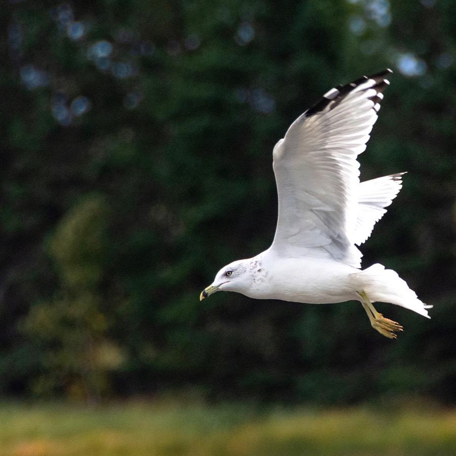 Ring-billed gull flies overhead
