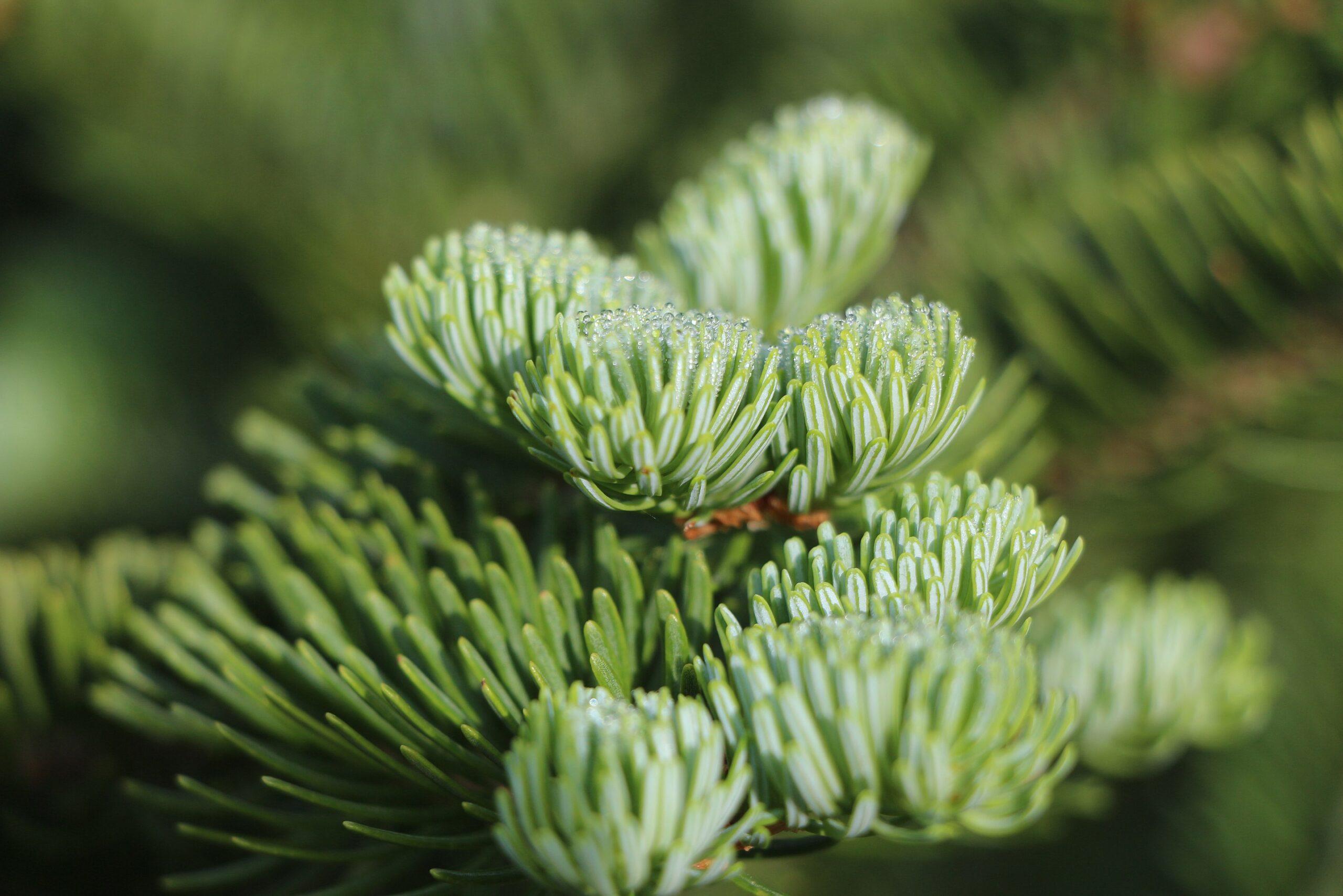 Balsam fir (Abies balsamea) branch