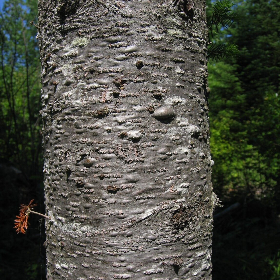 Bark of a balsam fir. There are resin filled blisters all over the bark.