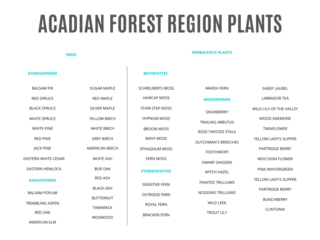 A list of common trees and herbaceous plants in the Acadian Forest. Including, balsam fir, red spruce, black ash, schreuber's moss, sphagnum moss, dutchman's breeches, toothwort, partridge berry, labrador tea, and