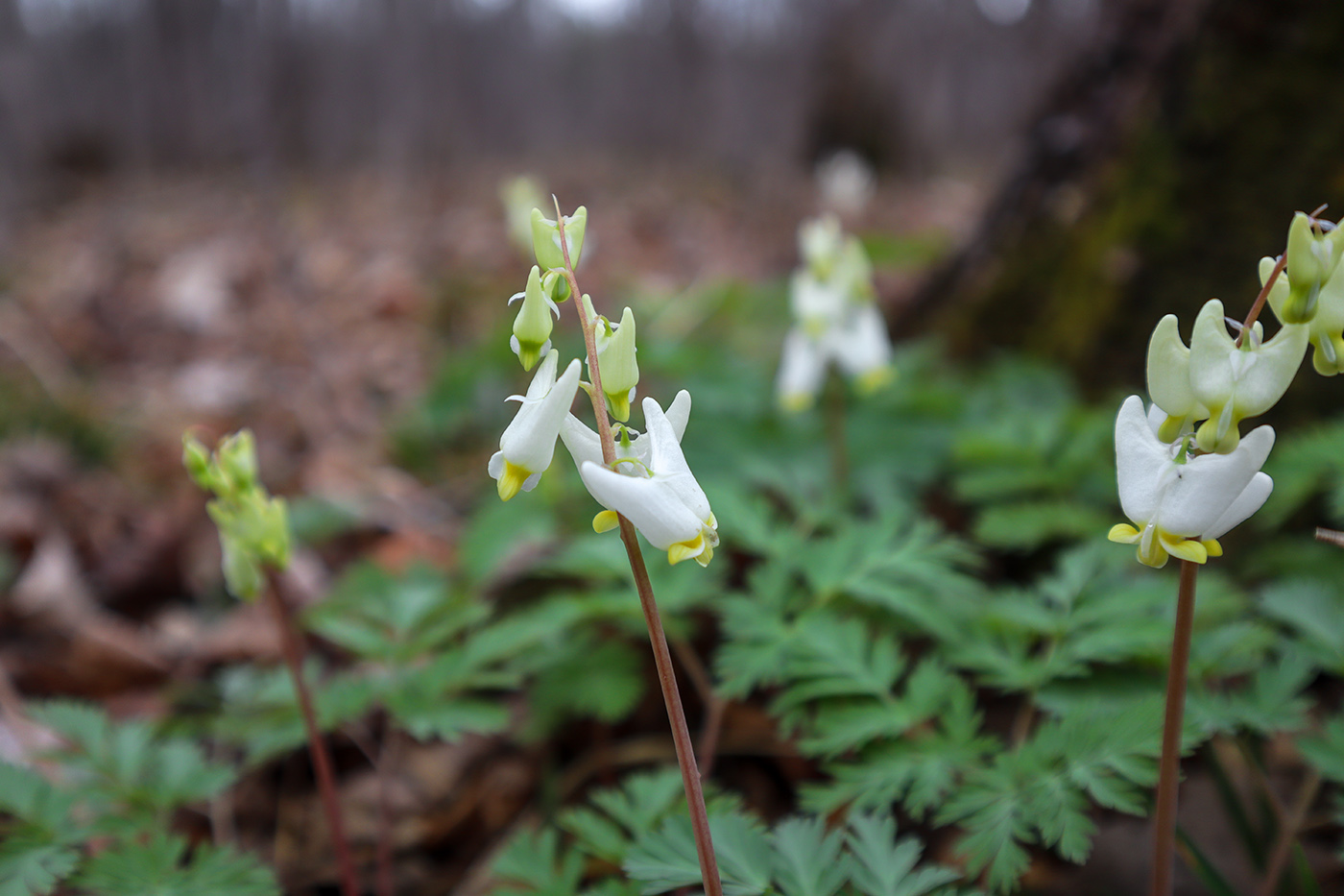 Duchman's breeches is a common spring wildflower found in the Acadian Forest Region