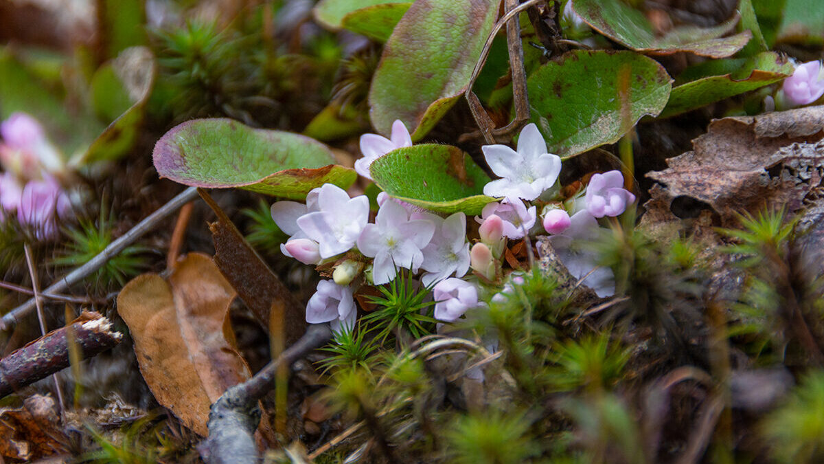 Mayflowers growing on the perimeter of a forest. These plants are low-lying shrubs with trumpet-like flowers.