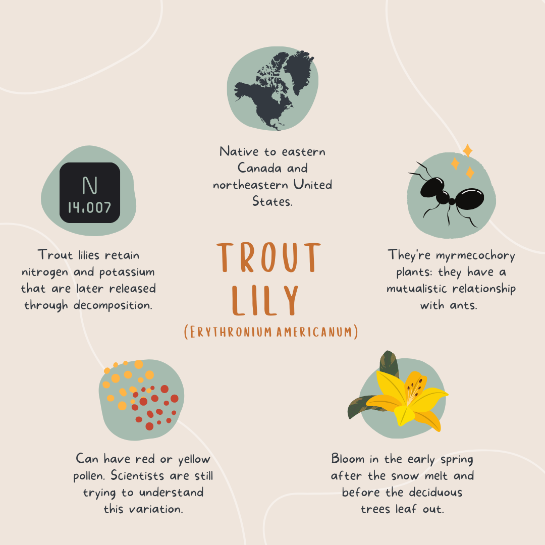 Infographic about trout lily. It states 5 facts about trout lilies:  1. Trout lilies retain nitrogen and potassium that are later released through decomposition.  2. Trout lilies are native to eastern Canada and notheastern United States.  3. Trout lilies aer myrmecochory plants: they have  mutualistic relationship with ants.  4. Trout lilies can have red or yellow pollen. Scientists are still trying to understand this variation.  5. Trout lilies bloom in early spring after the snow melt and before the deciduous trees leaf out.
